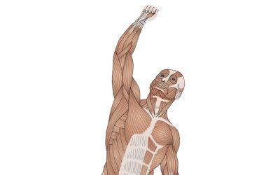 Desenho e Identificação dos Músculos Esqueléticos
