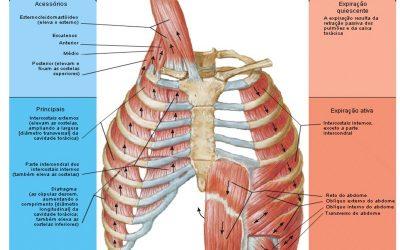 Desenho dos Músculos Respiratórios