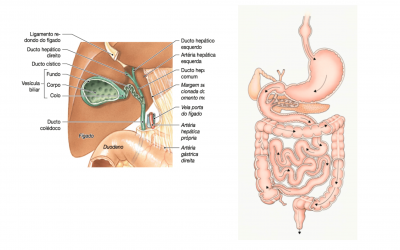 Desenho da Formação do Colédoco e do Sist. Digestório